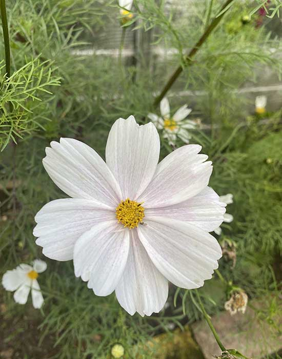 cosmos for wedding