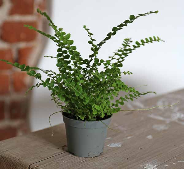 buy ferns uk