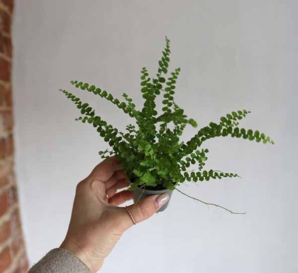 terrarium ferns online