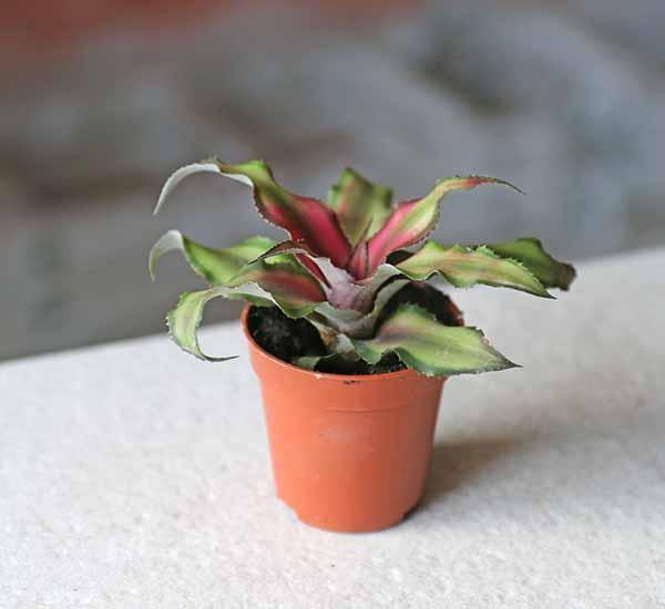 earth star plant