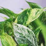 devils ivy easy care house plant