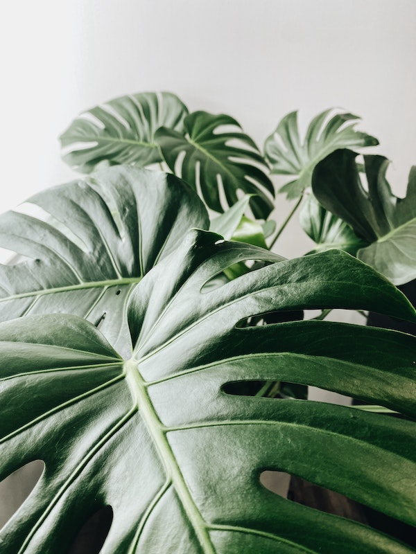 how to look after swiss cheese monstera